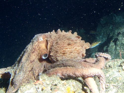 11-Common-Tropical-Octopus